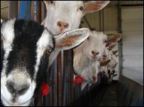 Goats (GTC)