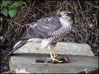 Sparrowhawk (Picture taken by Mark Holloway)