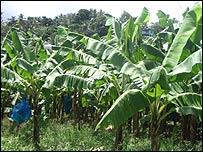 St Lucian banana plantation