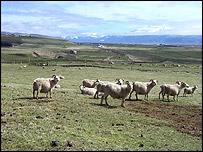 Sheep move across the land (BBC)