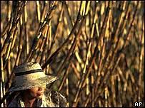 Plantación de caña de azúcar en El Salvador.