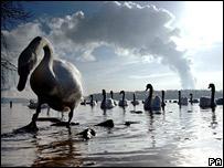 Swans (PA)