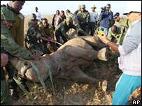 Rhino conservation work in action (AP)
