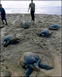 Volunteers help turtles while laying eggs on an Orissa beach.
