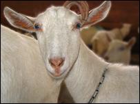 A transgenic goat (GTC Biotherapeutics)