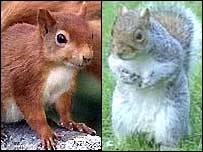Red and grey squirrels