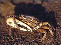 Fiddler crab, image courtesy of Catherine de Rivera