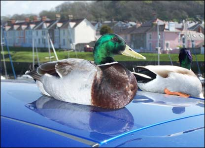Ducks taking a break in the sun at Aberaeron by Ralph Williams