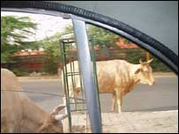 Cows in Delhi streets, Bill Thompson
