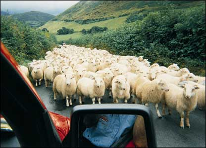 Sheep in a country lane