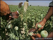 Afghan workers scraping opium sap out of poppies