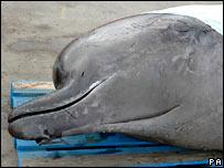 The dead Thames whale.  Image: ZSL/PA