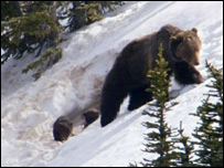 Grizzly emerges from den with two cubs (BBC)