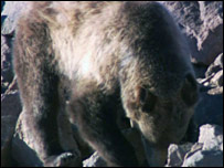 Grizzly bear (BBC)