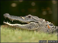 An alligator. File photo