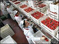 نساء في مصنع للفراولة باسبانيا