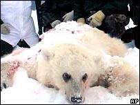 الدب الهجين