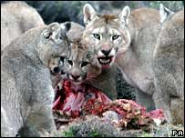 Pumas feeding, from Planet Earth