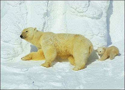 Osos polares en Kong Karls Land, Noruega.