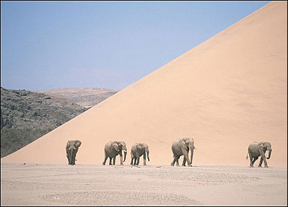 Elefantes en el desierto de Kalahari.