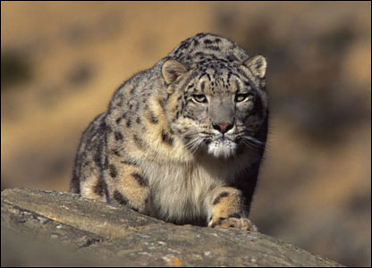 Leopardo de la nieve en Ladakh, India.