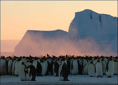 Ping�inos emperadores en la Ant�rtica.