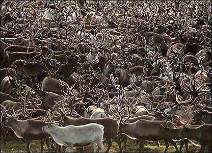 Carib�s salvajes en Alaska, Estados Unidos.