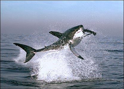Tibur�n blanco salta para cazar una foca.