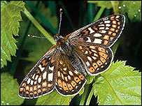 The marsh fritillary butterfly - pic Butterfly Conservation