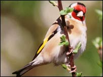 Goldfinch (pic: BTO)