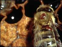Varroa mites on honey bee, Vita Europe