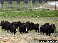 A herd of yaks in Tibet