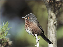 Dartford Warbler (Mike McKavett, RSPB)