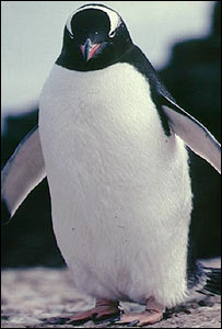 Gentoo penguin (file photo)