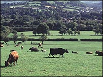 Picture of cows in field