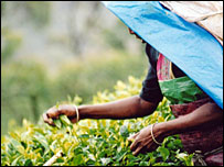 Picking tea in Sri Lanka - courtesy of The Fairtrade Foundation
