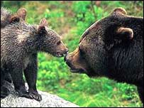Brown bears in the Carpathians. Photo: Weinmann/WWF-A
