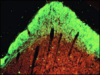 Section of brain showing nerve growth (PNAS)