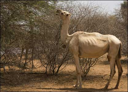 Camel grazing (Photo: Christian Aid / Mike Goldwater / Getty Images)