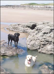Tyson and Jasper enjoying the pools on the beach at Porthcawl, sent by Wendy