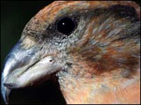 Male Scottish crossbill (Pic: RSPB Images)