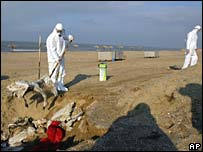 Vets dispose of infected birds near the Caspian Sea