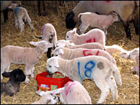 Baby lambs (from Chichester College)