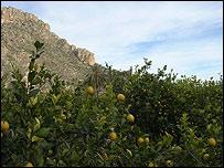 Murcia, España. Naranjos.