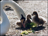 Cygnets and mother swan (generic)
