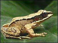 Amolops tormotus (Image: Albert Feng)
