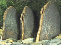 Mature freshwater pearl mussels