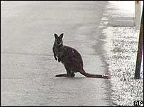 Kangaroo in Austria