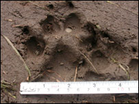 'Big cat' footprint. Picture; Aled Jones
