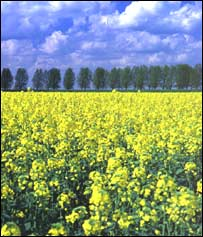 Rape field (Blacknell)